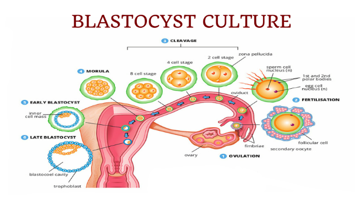 BLASTOCYST EMBRYO TRANSFER CENTRE IN HYDERABAD
